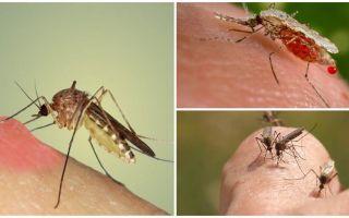 Perché le zanzare bevono sangue