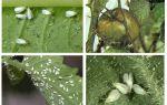 Metodi di trattare con mosche bianche su pomodori in serra