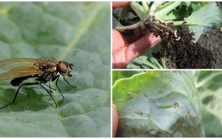 Come affrontare una mosca cavolo e le sue larve