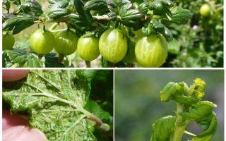Come sbarazzarsi di afidi sull'uva spina