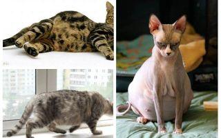 Come rimuovere le pulci da un gatto in stato di gravidanza