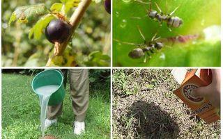 Come trattare con formiche e afidi sul ribes