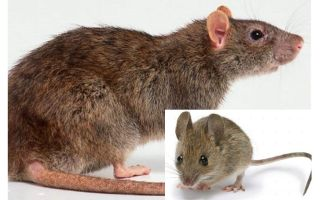 Qual è la differenza tra un topo e un topo?