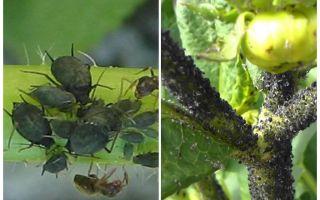 Come trattare con gli afidi neri su pomodori e cetrioli