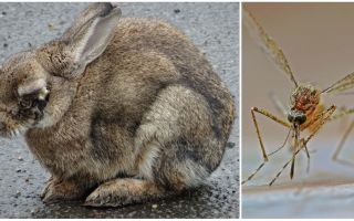 Come salvare i conigli dalle zanzare sulla strada e nella coniglieria