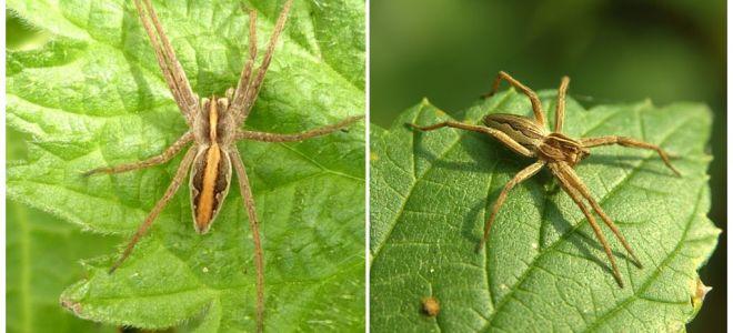 Descrizione e foto dei ragni della regione di Saratov