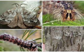 Descrizione e foto di un bruco e una farfalla del baco da seta della Siberia