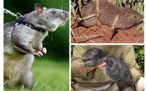 I più grandi topi del mondo