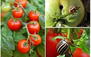 Come elaborare i pomodori dallo scarabeo della patata del Colorado