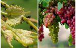 Come affrontare gli afidi sull'uva folk e shopping