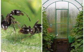 Come trattare con le formiche nei rimedi popolari della serra