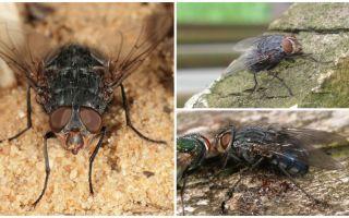 Descrizione e foto di una mosca di carne blu