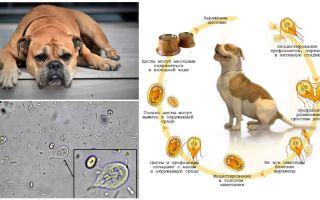 Sintomi e trattamento di Giardia nei cani