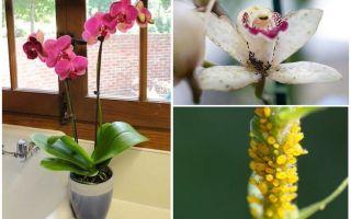 Come affrontare gli afidi sulle orchidee