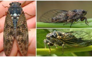Descrizione e foto di mosche cicala