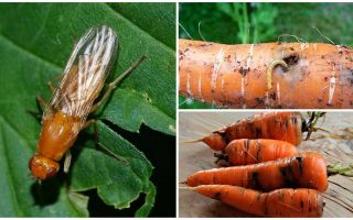 Come sbarazzarsi delle mosche carote