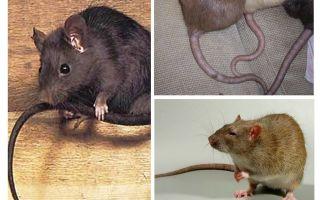 Perché i ratti si attaccano