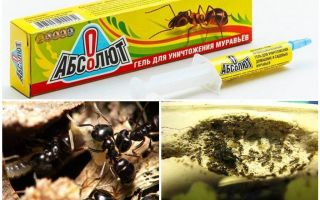 Assoluto dalle formiche
