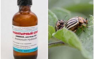 Ammoniaca contro lo scarafaggio della patata del Colorado