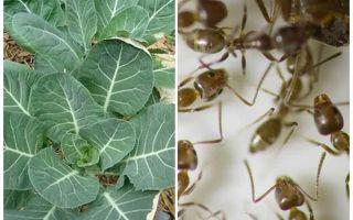 Come salvare cavoli dalle formiche