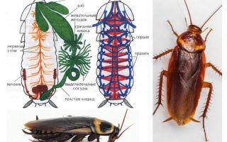 La struttura dello scarafaggio - esterno e interno