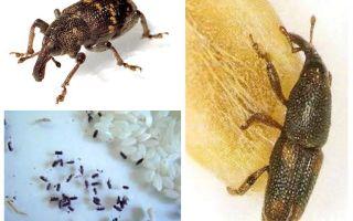 Tonchio di riso: un dannoso parassita di cereali