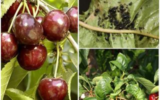 Come sbarazzarsi di afidi su ciliegie e ciliegie