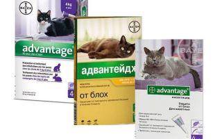 Vantaggio delle pulci per gatti