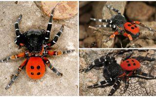 Descrizione e foto dei ragni in Crimea