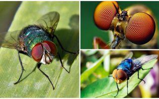 Quanti fotogrammi al secondo vede una mosca e quanti occhi ha?