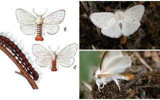 Descrizione e foto di farfalle e bruchi