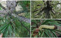 Come e cosa elaborare pino dai bruchi