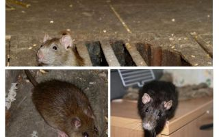 Come prendere un topo in casa