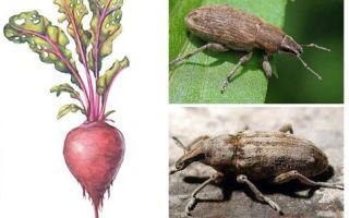Beet weevil
