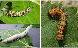 Descrizione dei bruchi, del loro cibo e della loro struttura