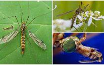 Grandi zanzare con le gambe lunghe (Lattine)