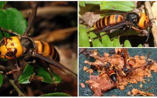 Great Hornets: Giant Asian e Black Hornets