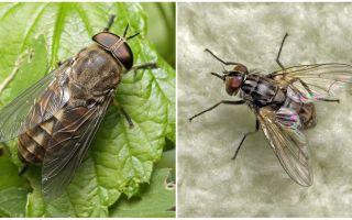 Descrizione e foto morsi mosche