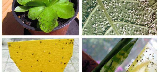 Come affrontare le mosche in vasi di fiori