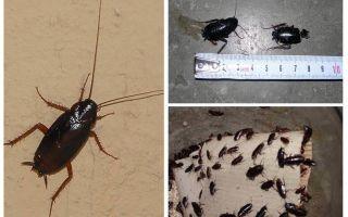 Come sbarazzarsi dei grandi scarafaggi neri nell'appartamento