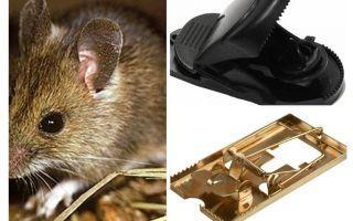 Come mettere una trappola per topi