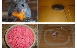 Come ottenere i topi fuori dal garage