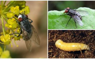 Descrizione e foto di una mosca di carne (mortale)