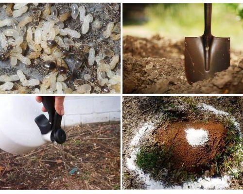 Come ottenere le formiche dai rimedi popolari del giardino
