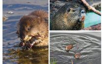 Ratti d'acqua