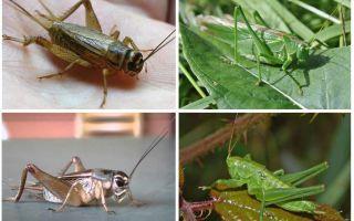 Differenze cricket e cavalletta
