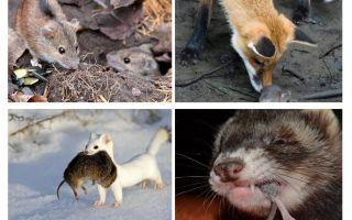 Chi mangia i topi