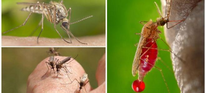 Le persone con cui i gruppi sanguigni sono più spesso morsi dalle zanzare