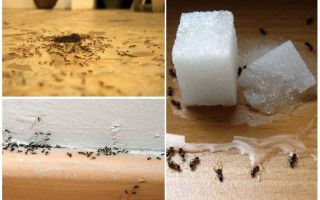Come rimuovere le formiche da un appartamento a casa