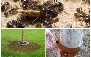 Trappole di formiche sugli alberi con le loro stesse mani